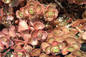 Sedum Spurium, 'Dragon's Blood'