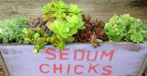 Sedum Chicks