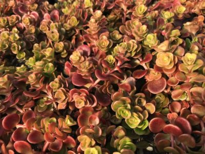 Tetractinum, 'Chinese Sedum'