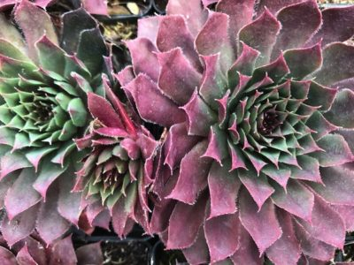 Sempervivum Royal Ruby